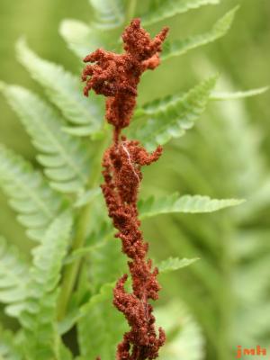 Osmunda cinnamomea L. (cinnamon fern), fertile stalk