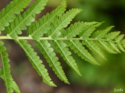 Osmunda cinnamomea L. (cinnamon fern), frond
