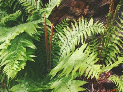 Osmunda cinnamomea L. (cinnamon fern), growth habit