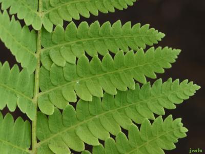 Osmunda claytoniana L. (interrupted fern), pinnae