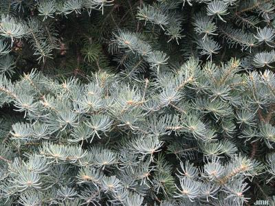 Abies concolor 'Compacta' (Compact white fir), leaves