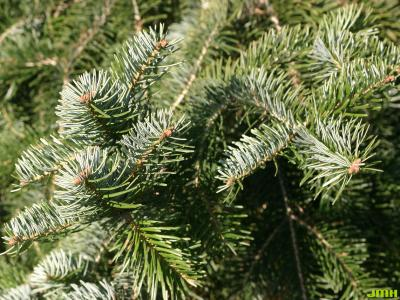 Abies cilicica (Ant. & Kotschy) Carr. (Cilician fir), leaves