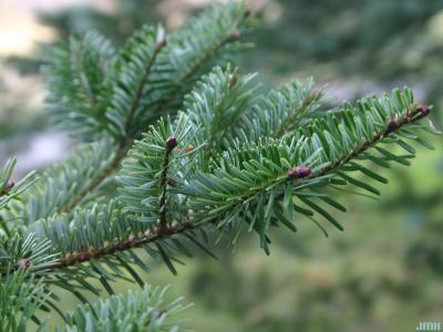 Abies chensiensis Van Tiegh. (Shensi fir), leaves