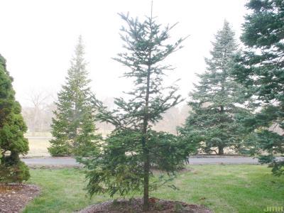 Abies chensiensis Van Tiegh. (Shensi fir), growth habit, evergreen tree form