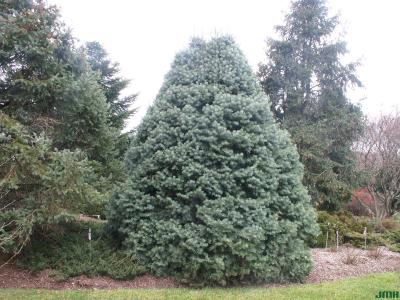 Abies concolor 'Compacta' (Compact white fir), growth habit, evergreen tree form