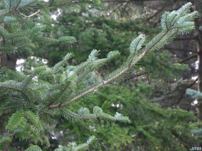 Abies chensiensis Van Tiegh. (Shensi fir), branch