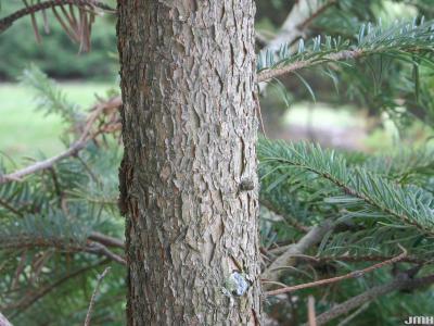 Abies chensiensis Van Tiegh. (Shensi fir), bark