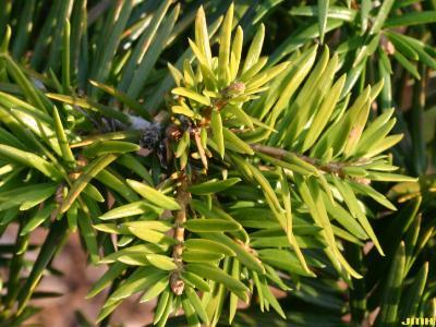 Abies ernestii Rehd. (Ernest's Fir), leaves