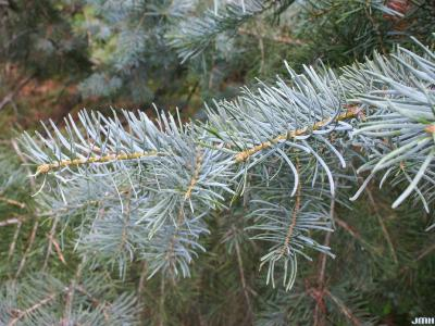 Abies concolor (Hook.) Nutt. (white fir), leaves