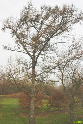 Larix kaempferi (Lambert) Carriere (Japanese larch), growth habit, tree form in late fall