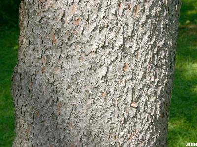 Larix laricina (Du Roi) K. Koch (tamarack), bark