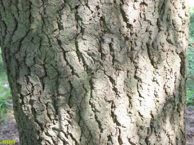 Abies concolor (Hook.) Nutt. (white fir), bark