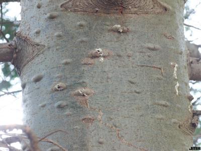 Abies grandis (Dougl. ex D. Don) Lindl. (grand fir), bark