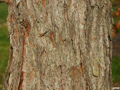 Larix kaempferi (Lambert) Carriere (Japanese larch), bark