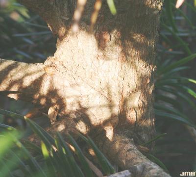 Abies ernestii Rehd. (Ernest's Fir), bark