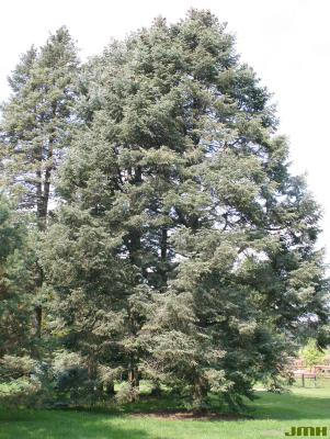 Abies concolor (Hook.) Nutt. (white fir), growth habit, evergreen tree form