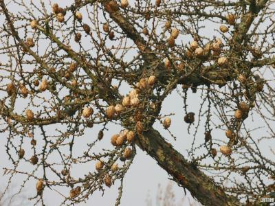 Larix kaempferi (Lambert) Carriere (Japanese larch), branch in winter