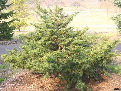 Abies ernestii Rehd. (Ernest's Fir), growth habit, evergreen tree form