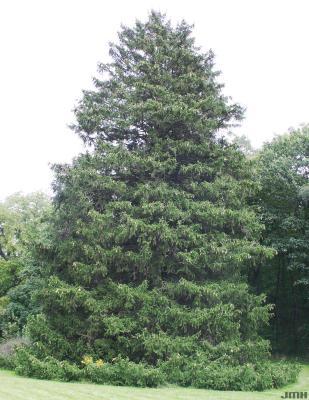 Picea abies (L.) Karsten (Norway spruce), growth habit, evergreen tree form