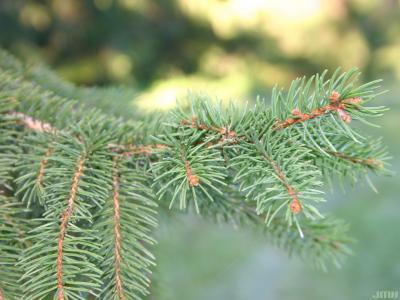 Picea abies (L.) Karsten (Norway spruce), leaves