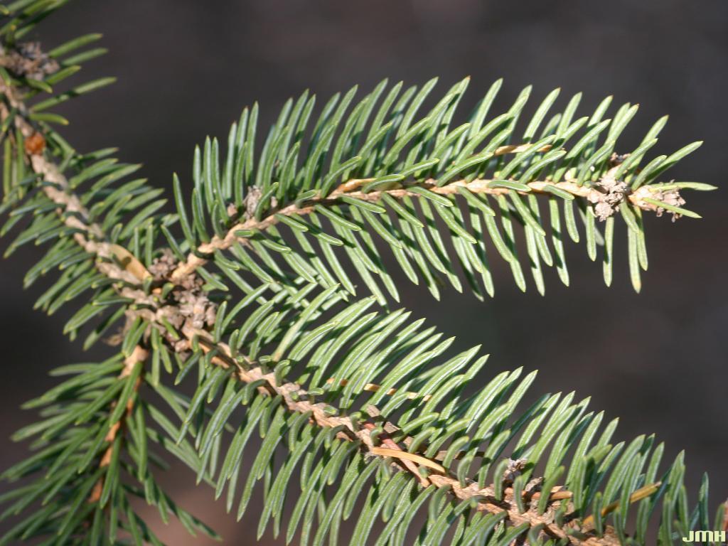 Picea gemmata Rehd. & Wils. (spruce), leaves