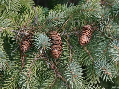 Picea glauca var. densata 'Aurea' (Golden Black Hills spruce), leaves and cones