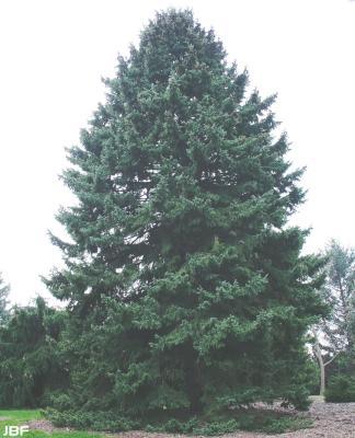 Picea glauca var. densata 'Aurea' (Golden Black Hills spruce), growth habit, evergreen tree form