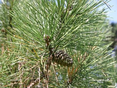 Pinus nigra Arnold (Austrian pine), leaves