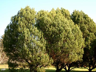 Pinus mugo Turra (mugo pine), growth habit, evergreen tree form