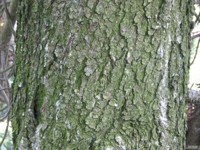 Pinus heldreichii var. leucodermis (Ant.) Markgraf ex Fitschen (Bosnian pine), bark