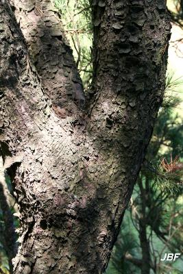 Pinus mugo Turra (mugo pine), bark