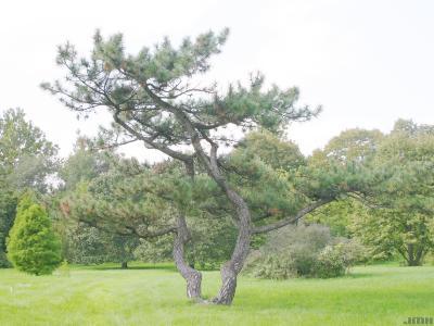 Pinus nigra Arnold (Austrian pine), growth habit, evergreen tree form