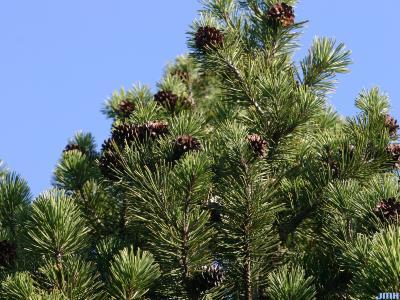 Pinus mugo Turra (mugo pine), branches at top with cones