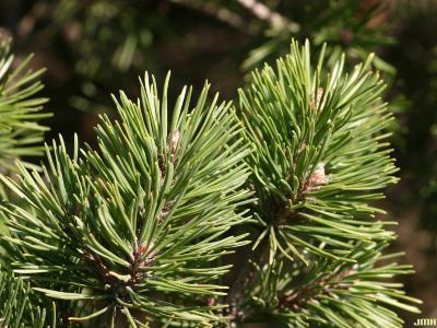 Pinus mugo Turra (mugo pine), leaves