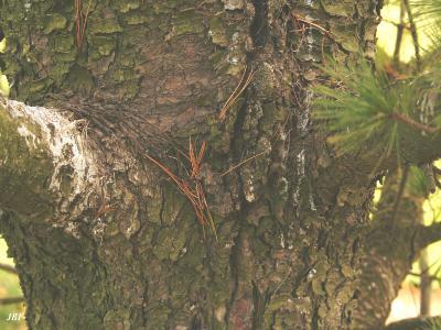 Pinus peuce Grisebach (Balkan pine), bark