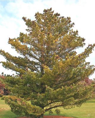 Pinus peuce Grisebach (Balkan pine), growth habit, evergreen tree form
