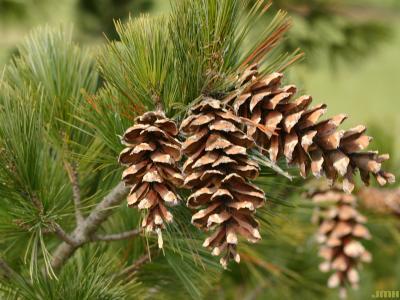 Pinus peuce Grisebach (Balkan pine), cones
