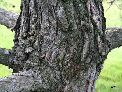 Pinus sylvestris L. (Scots pine), bark