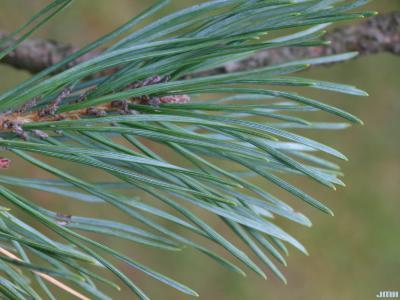 Pinus sylvestris 'Fastigiata' (Upright Scots pine), leaves