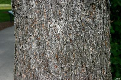 Pseudotsuga menziesii var. glauca (Beissn.) Franco (Douglas-fir), bark