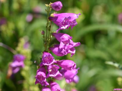 Penstemon 'Prairie Dusk' (Prairie Dusk penstemon), flowers