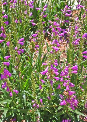 Penstemon 'Prairie Dusk' (Prairie Dusk penstemon), growth habit
