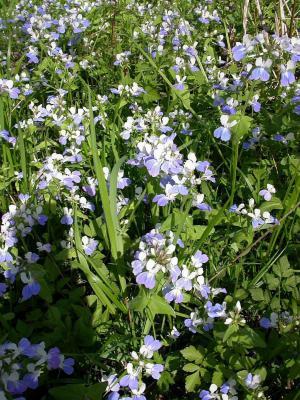 Collinsia verna Nutt. (spring blue eyed Mary), growth habit