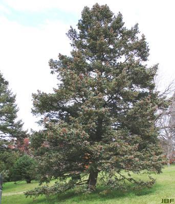 Pseudotsuga menziesii var. glauca (Beissn.) Franco (Douglas-fir), growth habit