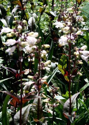 Penstemon digitalis 'Husker Red' (Husker Red foxglove penstemon), flowers