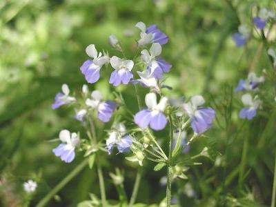 Collinsia verna Nutt. (spring blue eyed Mary), flowers