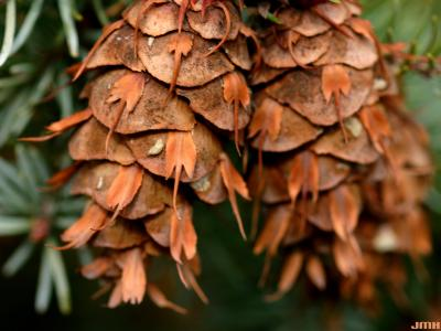 Pseudotsuga menziesii var. glauca (Beissn.) Franco (Douglas-fir), close-up of cones