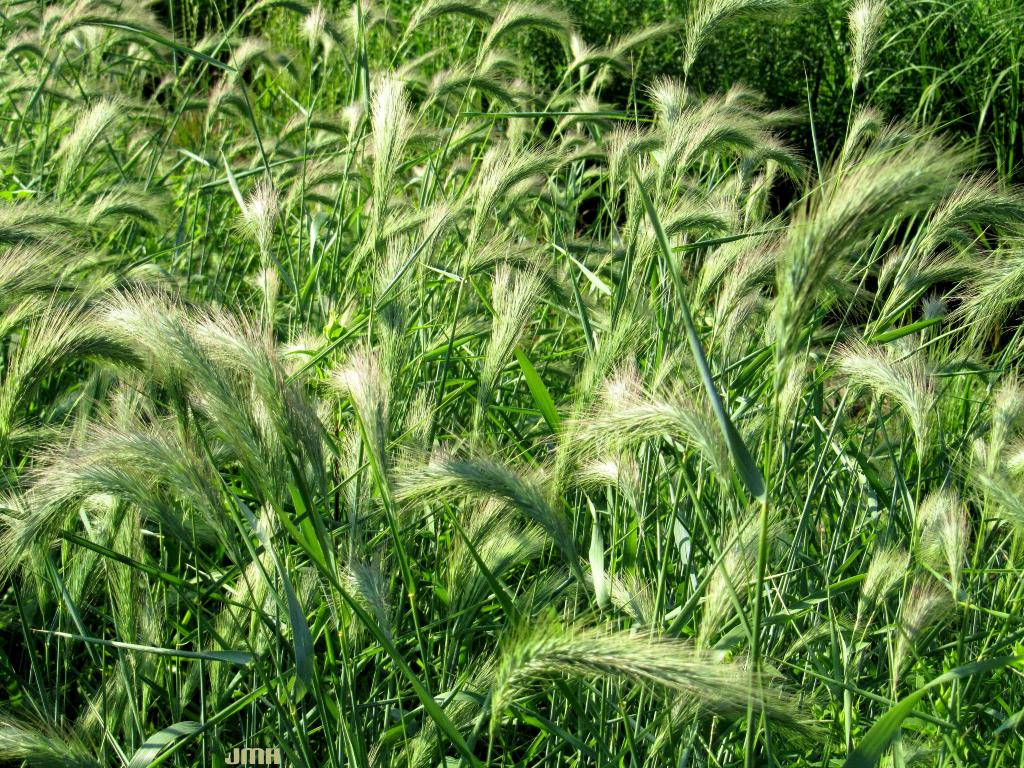 Elymus canadensis L. (Canada wild rye), inflorescence