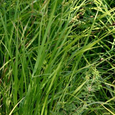 Elymus virginicus L. (Virginia wild rye), leaves