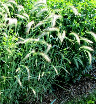Elymus canadensis L. (Canada wild rye), leaves and inflorescence
